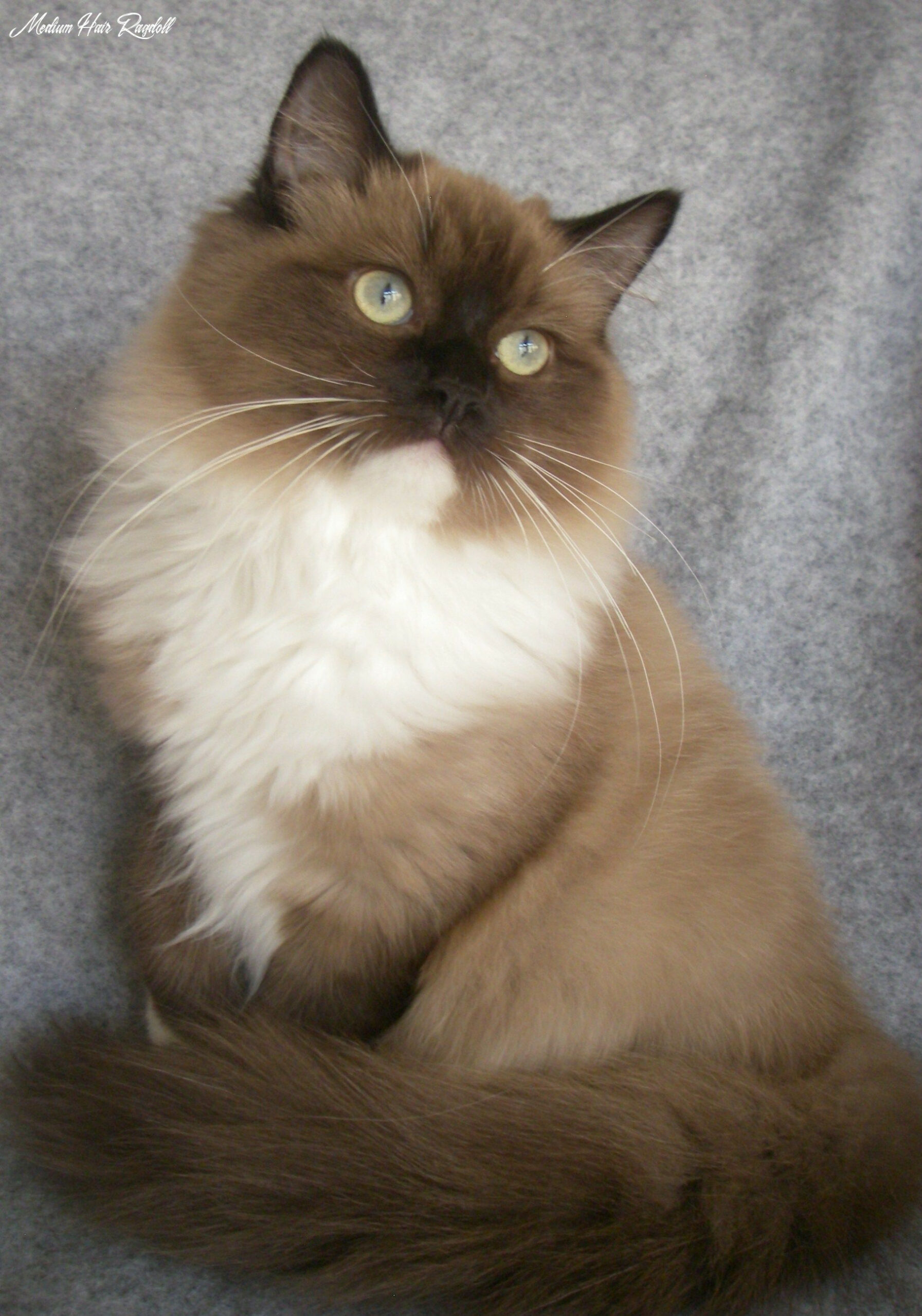 Beautiful sepia mitted mink ragdoll. If we ever get a cat, it must ...